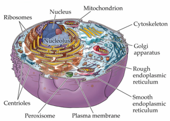 cell-organelles.png